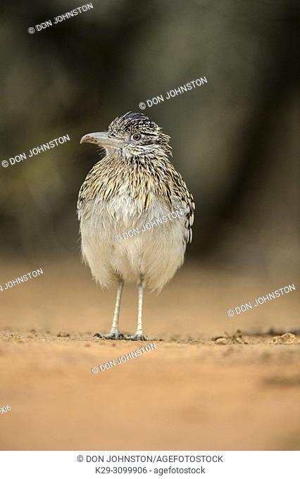 Greater roadrunner (Geococcyx californianus), Santa Clara Ranch, Starr County, Texas, USA