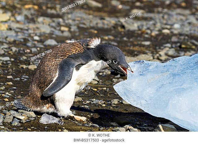 adelie penguin (Pygoscelis adeliae), young Adelie Penguin moulting eating ice, Antarctica, Devil Island