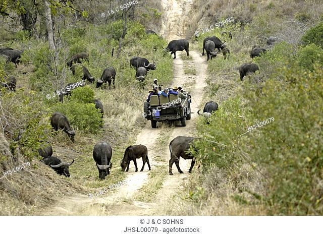 Safari Tourists in open Landrover African Buffalo Syncerus caffer