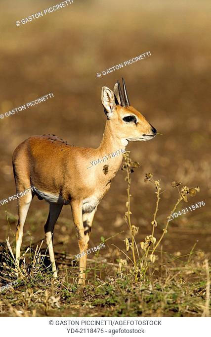 Steenbok (Raphicerus campestris), in the bush, Kruger National Park, South Africa