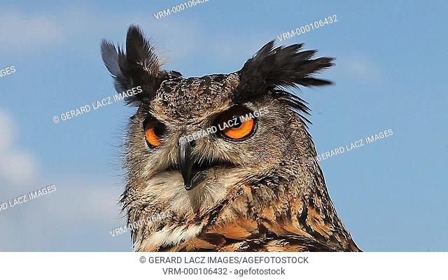 European Eagle Owl, asio otus, Portrait of Adult Looking around, Real Time