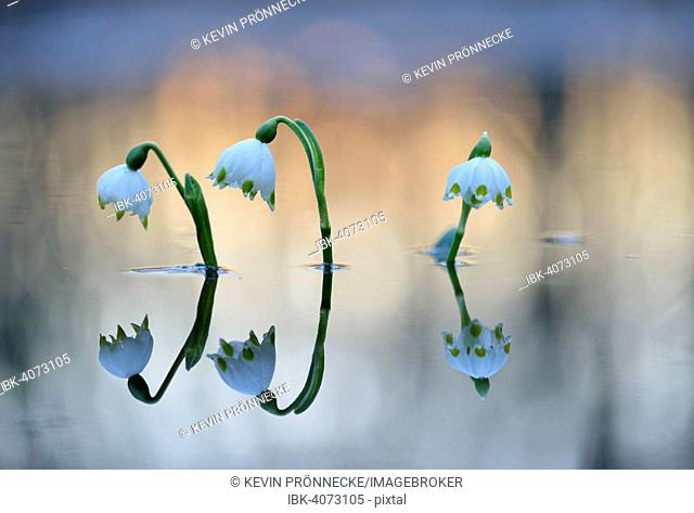 Spring Snowflake (Leucojum vernum), flowers on flooded floodplains, Leipzig, Saxony, Germany
