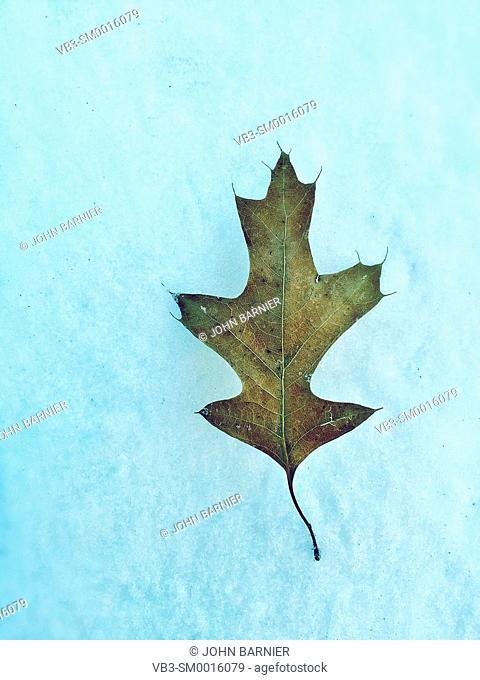 A small pin oak leaf lying on a patch of snow