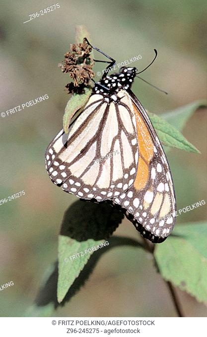 Monarch butterfly (Danaus plexippus). Mexico