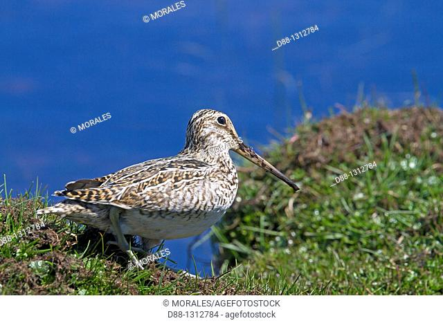 Falkland Islands , Pebble island , Magellanic snipe or South American Snipe  Gallinago paraguaiae magellanica  , Order : Charadriiformes ,Family: Scolopacidae