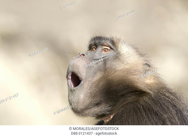 Ethiopia, Rift Valley, Debre Libanos, Gelada or Gelada baboon (Theropithecus gelada), dominant male, alpha male, yawning