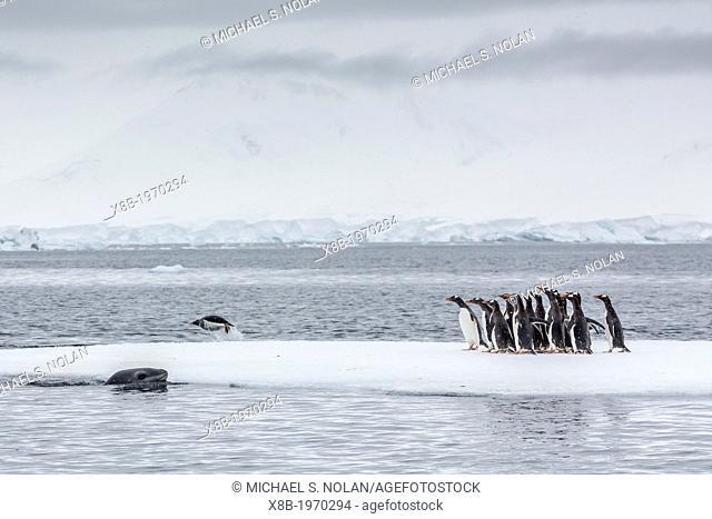 Adult leopard seal (Hydrurga leptonyx) stalking gentoo penguins (Pygoscelis papua) on ice floe in Port Lockroy, Antarctic Peninsula, Southern Ocean