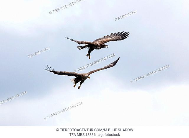 white-tailed sea eagles