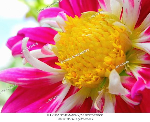 Dahlia flower, 'Collarette Dandy', pink