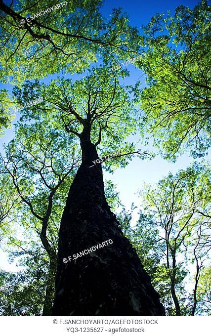 Robinia forest. La Cubilla, Castro Urdiales, Cantabria, Spain