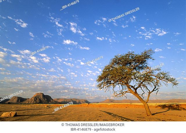 Camelthorn tree (Acacia erioloba) in the evening in a dry riverbed at the edge of the southern Namib Desert, Namibia