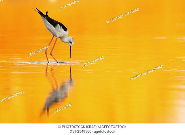 male Black-winged Stilt (Himantopus himantopus) wading in water Photographed in Israel in September