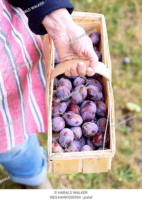 Hand of senior woman holding basket of plums