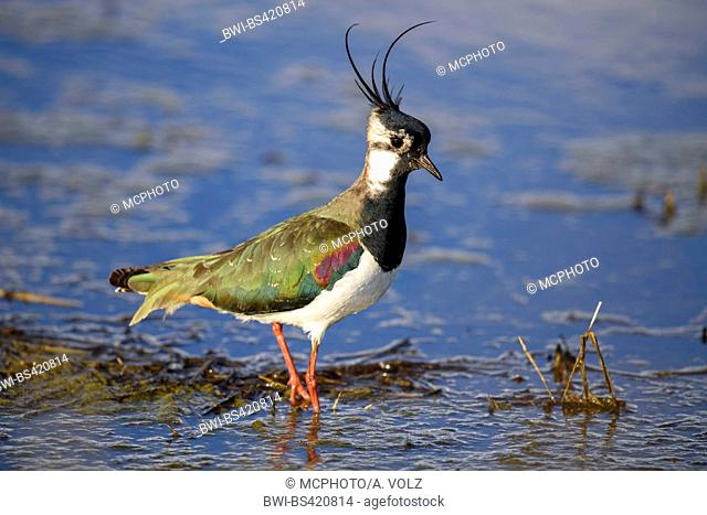 northern lapwing (Vanellus vanellus), male standing in shallow water, Germany, Bavaria