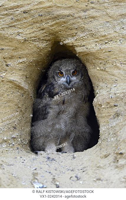 Eurasian Eagle Owl ( Bubo bubo ), chick, standing in the entrance of its nest burrow, looks cute, wildlife, Europe
