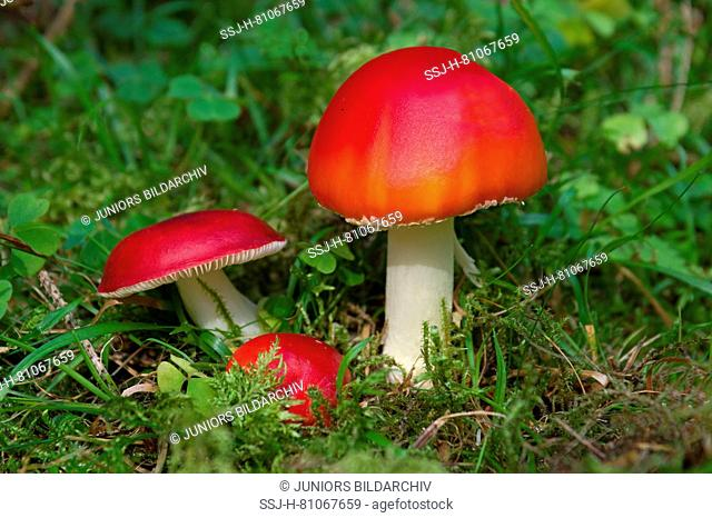 Most red fungi a poisonous, so be careful ! In this case: Sickener Mushroom, Emetic Russula (Russula emetica) to the left