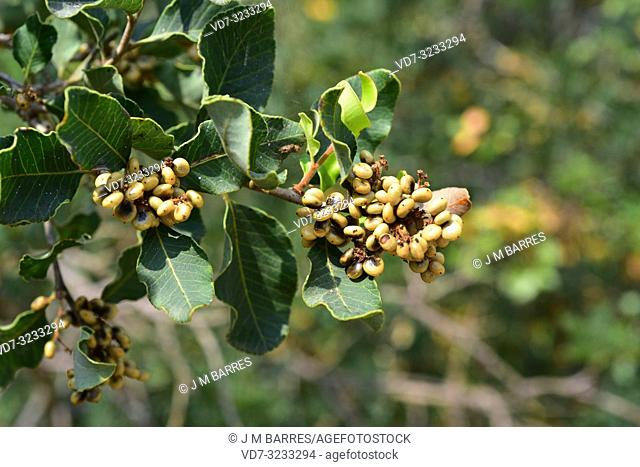 Litre tree (Lithraea caustica) is an evergrren allergenic tree endemic to central Chile. Fruits and leaves detail