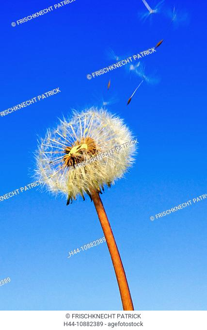 Detail, flora, flight, reproduction, sky, ease, air, draft, dandelion, macro, plant, puff, puffing, blowing, seed, sperm, seed, sperm, Switzerland
