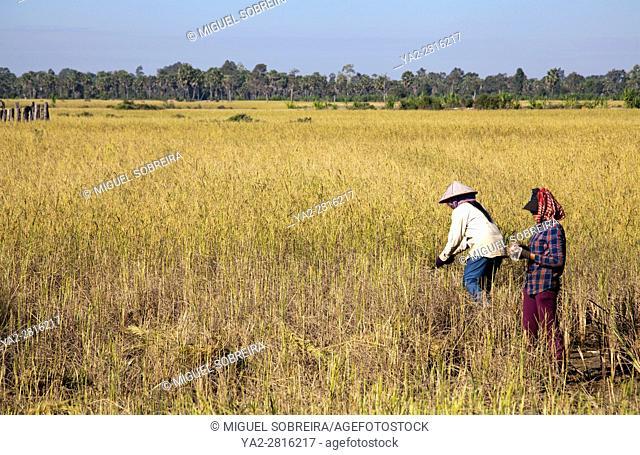 Villagers Harvesting Rice in Preah Dak Village in Siem Reap - Cambodia