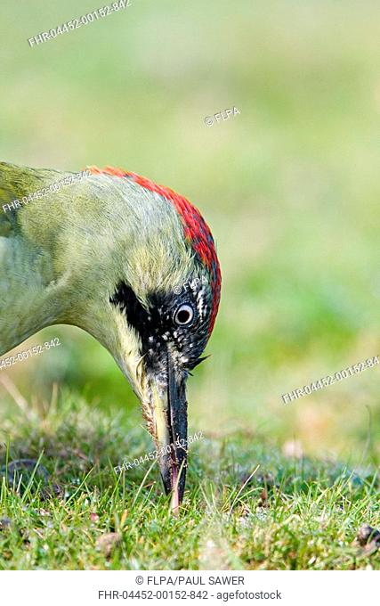Green Woodpecker Picus viridis adult female, feeding, poking long sticky tongue into hole dug in ground with beak, Suffolk, England