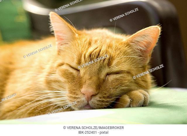 Sleeping red striped tomcat