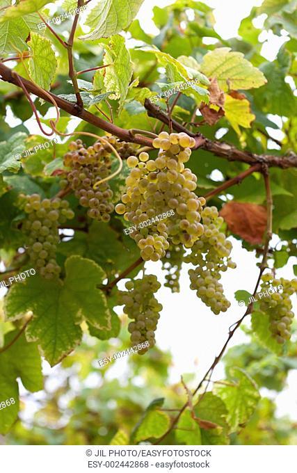 Grapes 'Hondarribi zuri variety', 'txakoli' vineyards Getaria, Guipúzcoa, Euskadi, Spain