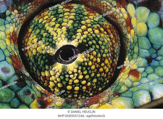 PANTHER CHAMELEON Chamaeleo pardalis eye, close detail Madagascar