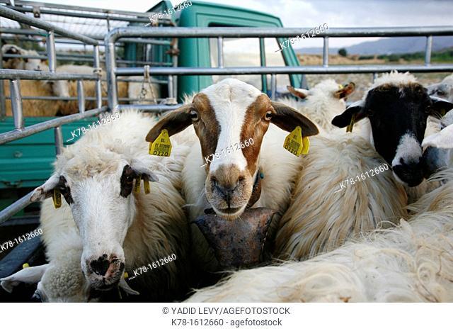 Sheep and goats at a farm, Rhodes, Greece