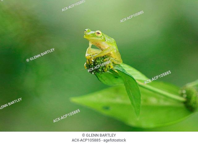 Glass Frog perched on a branch in Costa Rica