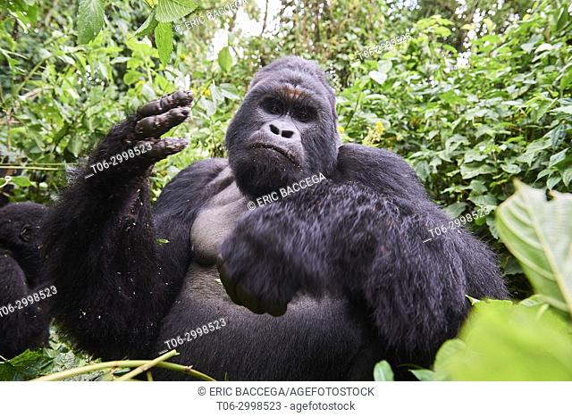 Mountain gorilla silverback Humba (Gorilla beringei beringei) eating driver ants (Dorylus sp). Gorillas grab at ants with their hands Not all gorillas in the...