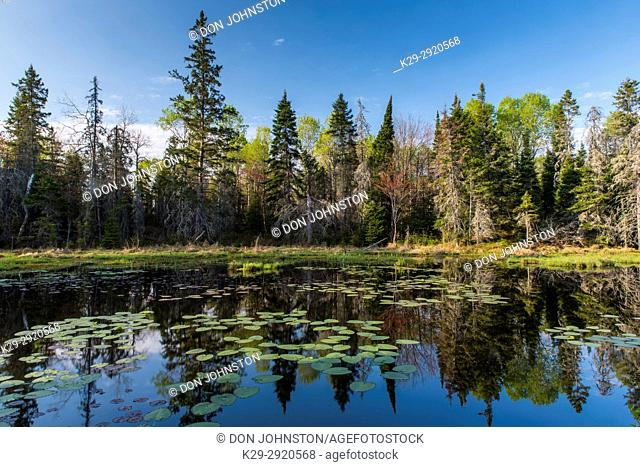 Lily pads and spring reflections in a beaver pond, Creighton, Ontario, Canada