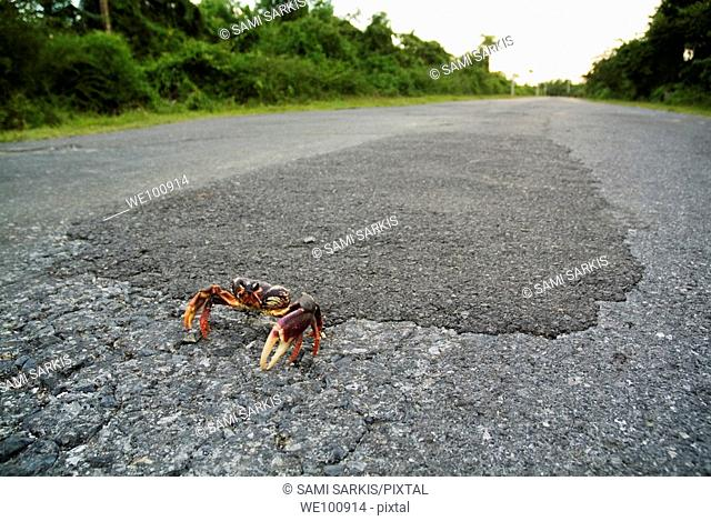 Red land crab (Gecarcinus lateralis) on the road to Maria la Gorda, Cuba