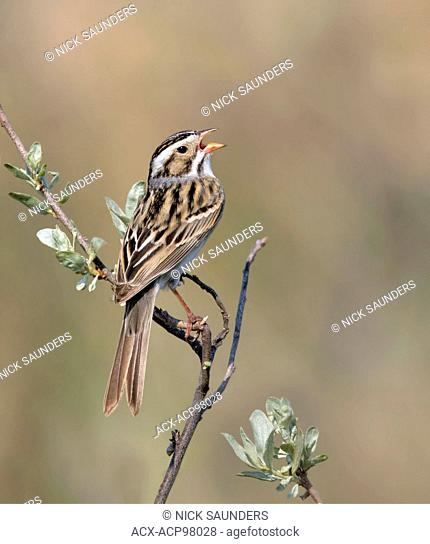 Clay-colored sparrow or clay-coloured sparrow, Spizella pallida, is a small sparrow of North America