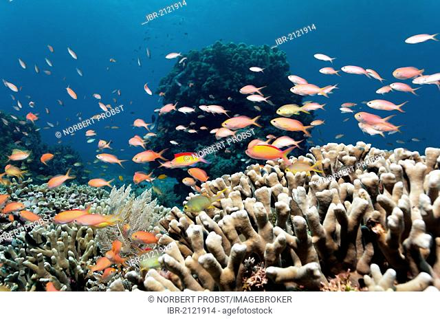 Different kinds of Fairy Basslets (Pseudanthias sp.) swimming above Finger Coral (Porites attenuata), coral block, coral reef, Great Barrier Reef