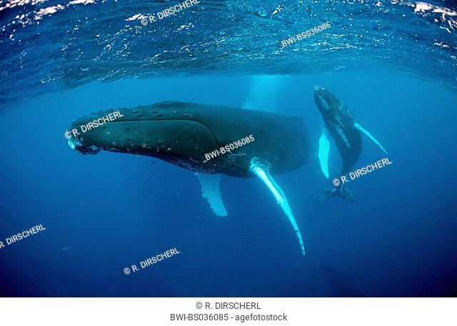 humpback whale (Megaptera novaeangliae), mother an calf, French Polynesia, Tahiti