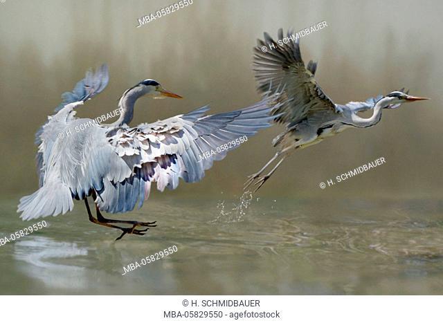 Grey heron, Ardea cinerea, common heron, fight, rival