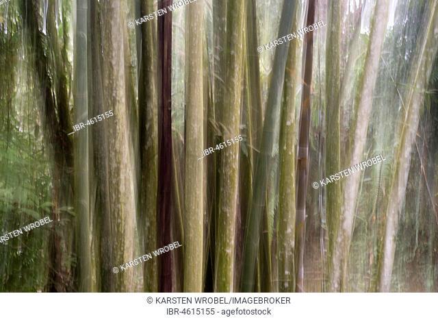 Bamboo Forest, Nantou, Taiwan, China