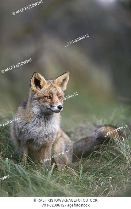 Red Fox ( Vulpes vulpes ), in nice winter fur, sitting at the edge of a forest in high grass, focused on sth. in the far, wildlife, Europe