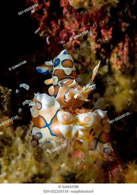 Underwater picture of Harlequin Shrimp eating sea star