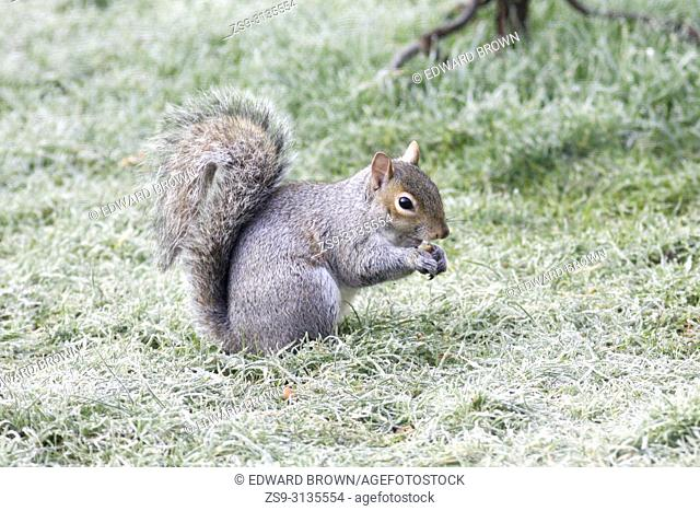 A squirrel (Sciurus carolinensis) forages on a frosty lawn, East Sussex, UK