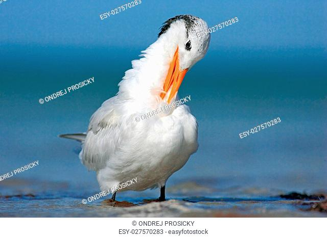 Tern in the water, cleaning plumage. Royal Tern