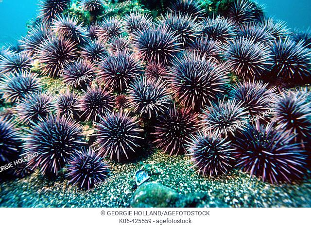 Purple sea urchins (Strongylocentrus purpuratus). California, USA