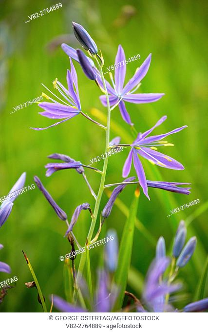 Common camas, Howard Buford County Park, Lane County, Oregon
