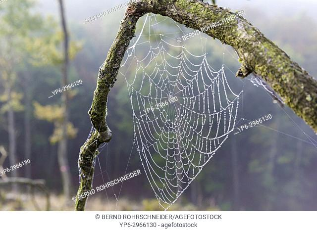 spiderâ. . s web with dewdrops, Mattheiser forest, Trier, Rhineland-Palatinate, Germany