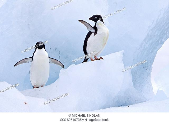 Adelie penguin Pygoscelis adeliae near the Antarctic Peninsula, Antarctica The Ad»lie Penguin is a type of penguin common along the entire Antarctic coast and...