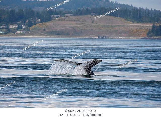 Humpback Whale. Photo taken from Island Explorer 3 tour boat out of Anacortes, Washington