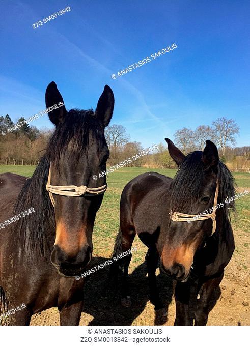 Horses, Hungary