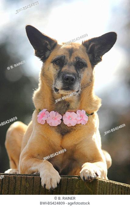 mixed breed dog (Canis lupus f. familiaris), nine years old Malinois-mixed breed she-dog with a blossom-dog necklace, front view, Germany