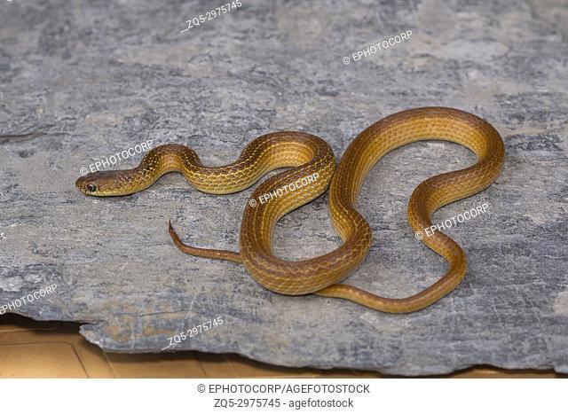 Lesser striped necked snake, Liopeltis calamaria, Rare. Kaas plateau, Satara district, Maharashtra