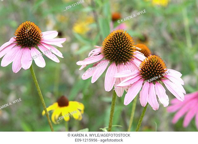 three pink daisies with orange centers, in field, Indiana